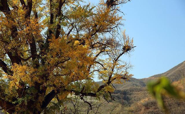 石家庄元氏深山里藏着一棵千年银杏树,你见过吗?